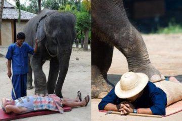 Một chú voi đang dùng  chân để thực hiện các động tác mát xa.